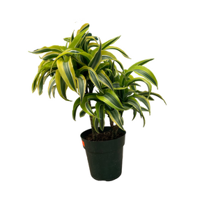 Dracaena - Lemon Lime Double