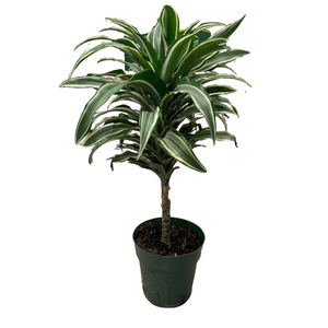 Dracaena - Warneckii Single