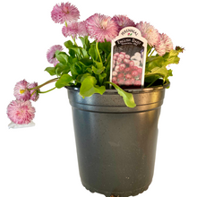 Load image into Gallery viewer, English Daisy - Habanera