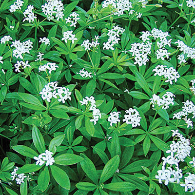 Savor - Herbs - Galium Sweet Sensation