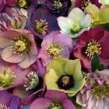 Load image into Gallery viewer, Helleborus Brandywine 1 Gallon Pot