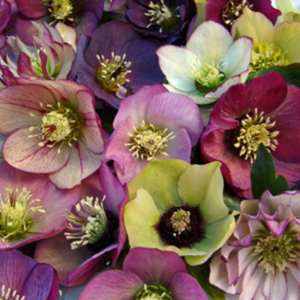 Helleborus Brandywine 1 Gallon Pot