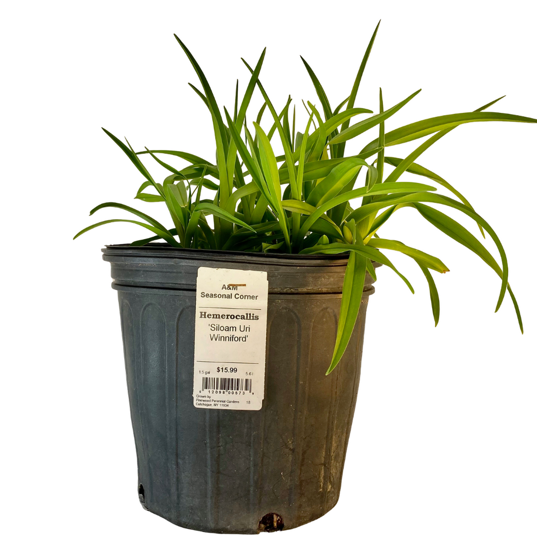 Hemerocallis - Siloam Ury Winniford 1.5 Gallon Pot