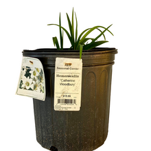 Load image into Gallery viewer, Hemerocallis Catherine Woodbury 1.5 Gallon Pot