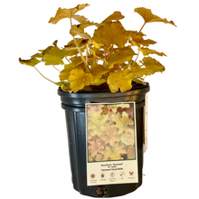 Load image into Gallery viewer, Heuchera - Caramel - Coral Bells
