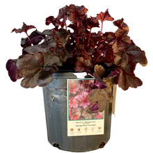 Load image into Gallery viewer, Heuchera - Midnight Rose - Coral Bells