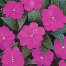Load image into Gallery viewer, Proven Winners - New Guinea Impatiens - Infinity Light Purple