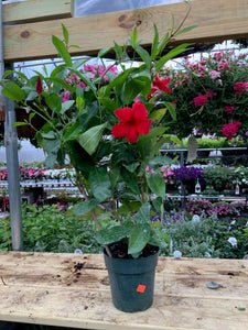Mandevilla - Red