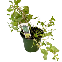 Load image into Gallery viewer, Marjoram - Origanun Majorana Plant