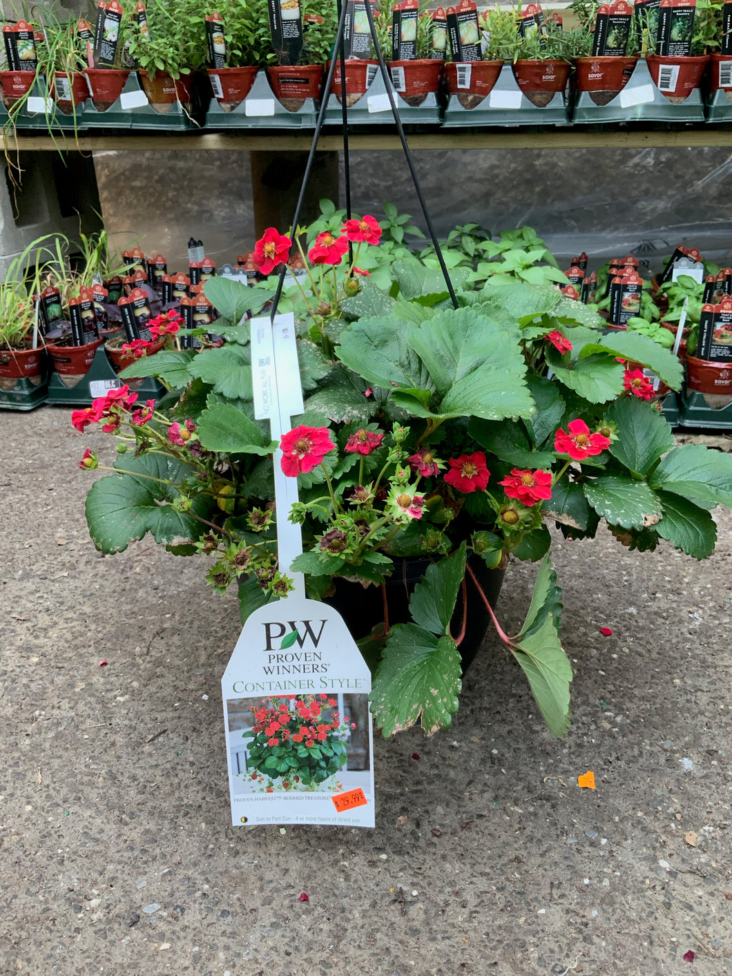 Proven Winners - Strawberry Hanging Basket