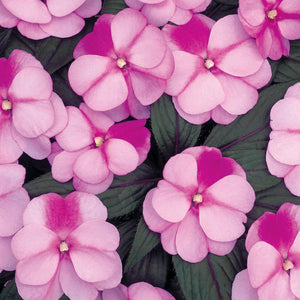 Proven Winners - New Guinea Impatiens - Infinity Pink Frost