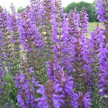 Load image into Gallery viewer, Salvia - Nemorosa - May Night
