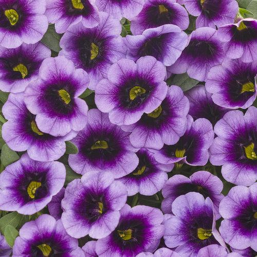 Proven Winners - Calibrachoa - Superbells -Blue Moon Punch