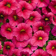 Load image into Gallery viewer, Proven Winners - Calibrachoa - Superbells - Cherry Red