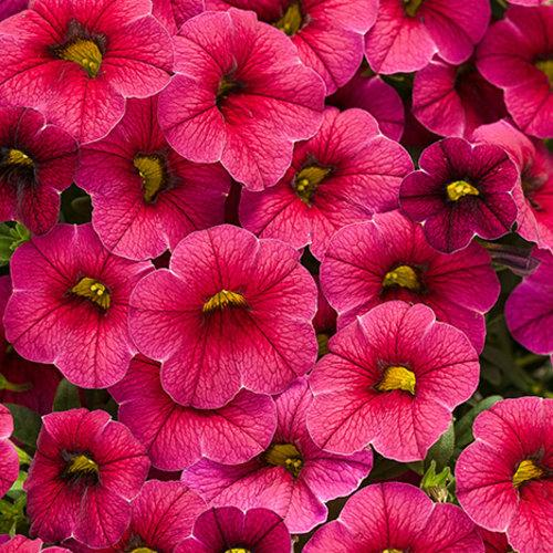 Proven Winners - Calibrachoa - Superbells - Cherry Red