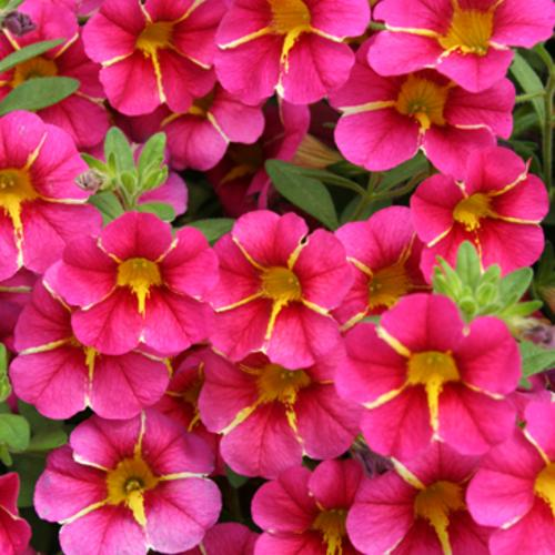 Proven Winners - Calibrachoa - Superbells - Cherry Star