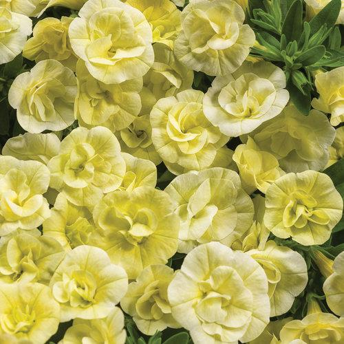 Proven Winners - Calibrachoa - Superbells - Double Chiffon