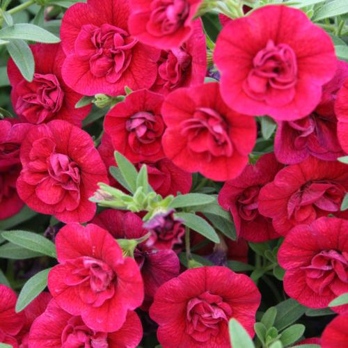 Proven Winners - Calibrachoa - Superbells - Double Ruby