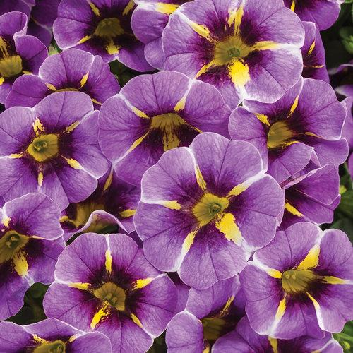 Proven Winners - Calibrachoa - Superbells - Evening Star