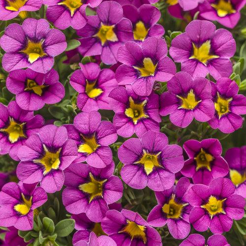 Proven Winners - Calibrachoa - Superbells -Hollywood Star
