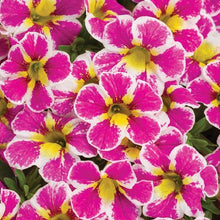 Load image into Gallery viewer, Proven Winners - Calibrachoa - Superbells - Holy Cow