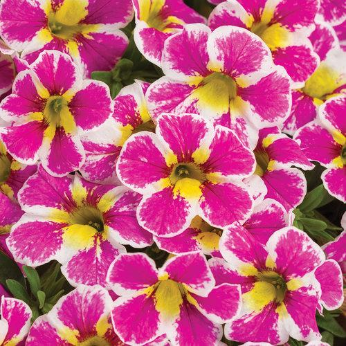 Proven Winners - Calibrachoa - Superbells - Holy Cow