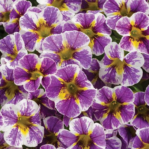 Proven Winners - Calibrachoa - Superbells - Holy Smokes