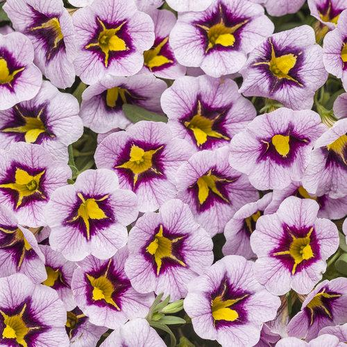 Proven Winners - Calibrachoa - Superbells - Morning Star
