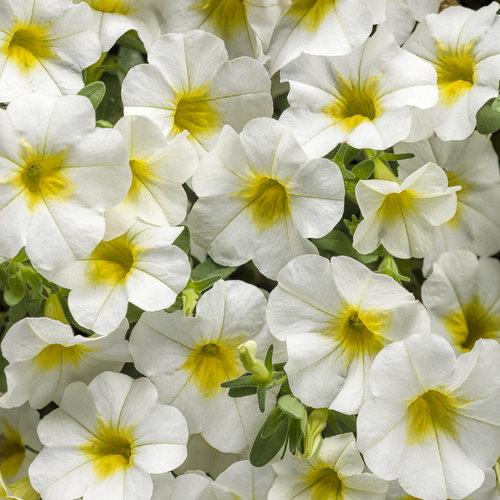 Proven Winners - Calibrachoa - Superbells -Over Easy