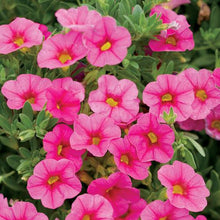 Load image into Gallery viewer, Proven Winners - Calibrachoa - Superbells -Pink