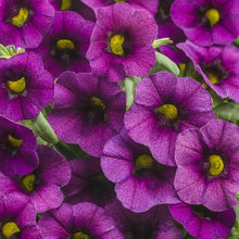 Load image into Gallery viewer, Proven Winners - Calibrachoa - Superbells -Plum