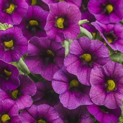 Proven Winners - Calibrachoa - Superbells -Plum