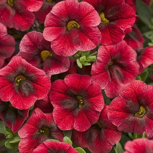 Proven Winners - Calibrachoa - Superbells - Pomegranate Punch