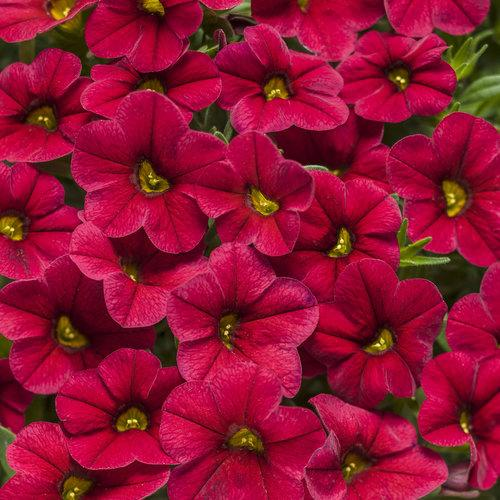 Proven Winners - Calibrachoa - Superbells -Red