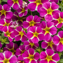Load image into Gallery viewer, Proven Winners - Calibrachoa - Superbells - Rising Star