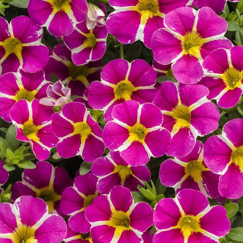 Proven Winners - Calibrachoa - Superbells - Rising Star