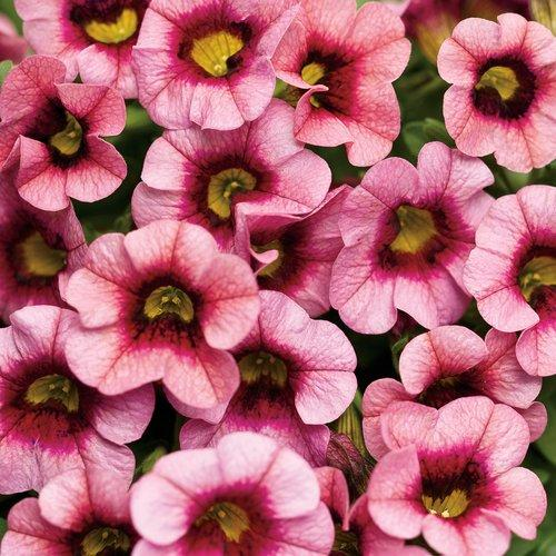 Proven Winners - Calibrachoa - Superbells - Strawberry Punch