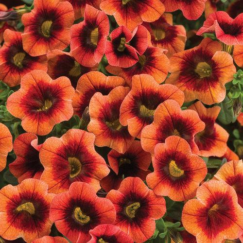 Proven Winners - Calibrachoa - Superbells - Tangerine Punch