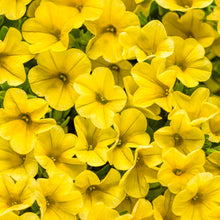 Load image into Gallery viewer, Proven Winners - Calibrachoa - Superbells -Yellow