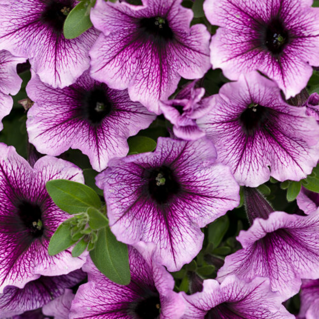 Proven Winners - Supertunia - Bermuda Beach