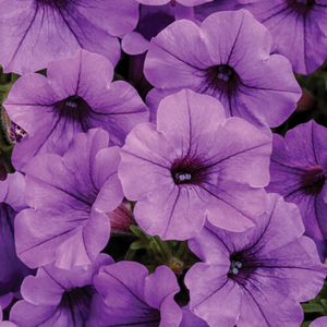 Proven Winners - Supertunia - Mini Vista - Indigo