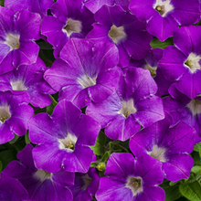 Load image into Gallery viewer, Proven Winners - Supertunia - Mini Vista - Morning Glory
