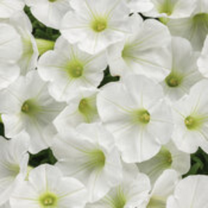 Proven Winners - Supertunia - Mini Vista - White