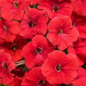 Proven Winners - Supertunia - Really Red