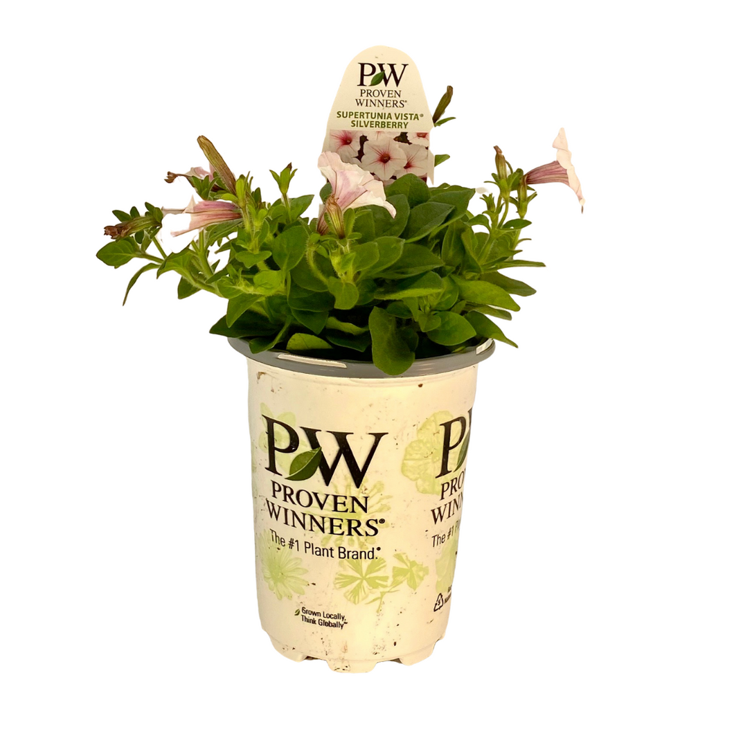Proven Winners - Supertunia - Vista - Silverberry
