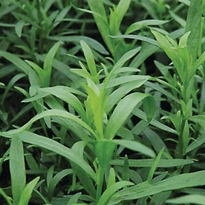 Savor - Herbs - French Tarragon Licorice Vine