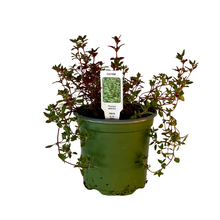 "Load image into Gallery viewer, Thyme Plant 4.5"" Pot"