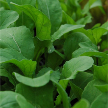 Load image into Gallery viewer, Arugula Plant