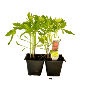 Beefsteak Tomato 4 Plant Cell Pack