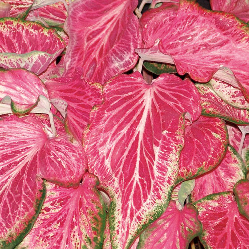 Proven Winners - Caladium - Blushing Bride